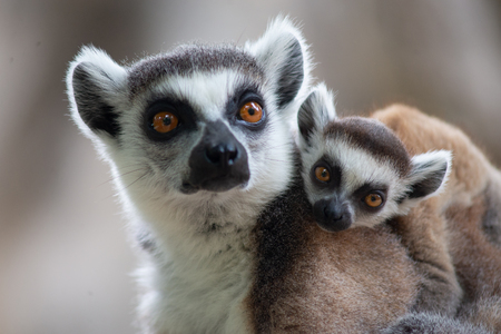 Ring tailed lemurs and their baby on back