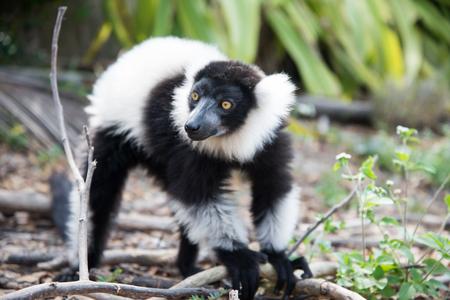 Portrait of black-and-white ruffed lemur Stock Photo