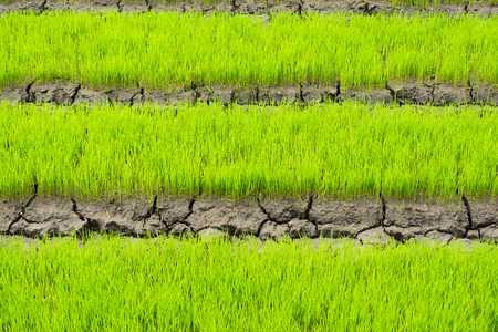 young rice are growing in the field in thailand