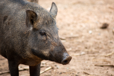 Naturally, wild boar likes to live in the rainforest and usually wallows in the mud possibly to regulate temperature or get rid of parasites.