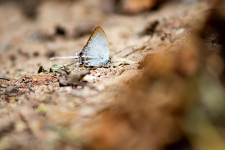 White butterflies are feeding on the minerals that are on the ground. Archivio Fotografico
