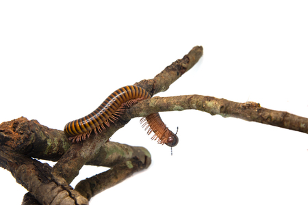 Millipede on the branch, Isolated on white background Stock Photo