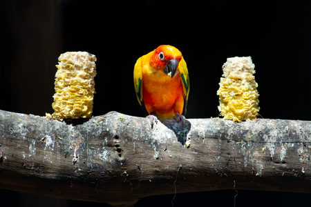 Sun parakeets are very social birds, typically living in flocks.