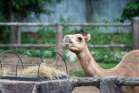 Camel is eating hay Reklamní fotografie