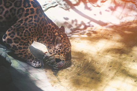 jaguar drinking water in a pond Stock Photo
