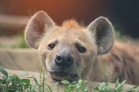 Behavior of spotted hyena under sunlight