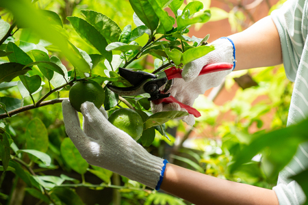 Harvesting lime from the tree