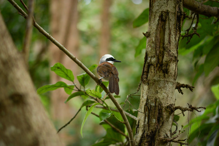 White-crested Laughingthrush in the nature