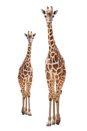 El hábitat de una jirafa se encuentra generalmente en sabanas africanas, praderas o bosques abiertos. Aislado sobre fondo blanco