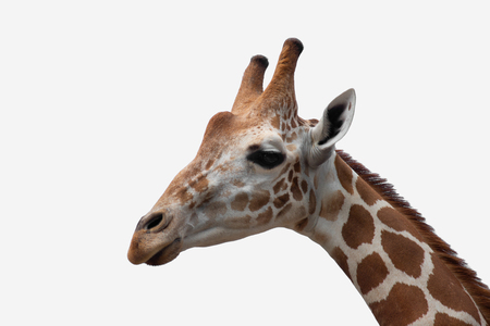 El hábitat de una jirafa se encuentra generalmente en sabanas africanas, praderas o bosques abiertos. Aislado sobre fondo blanco Foto de archivo