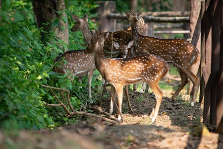 Chital are most active in the morning and late afternoon, and rest in shaded areas during the midday heat.