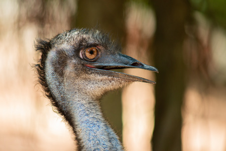 Emu is a bird that can not fly in Australia.
