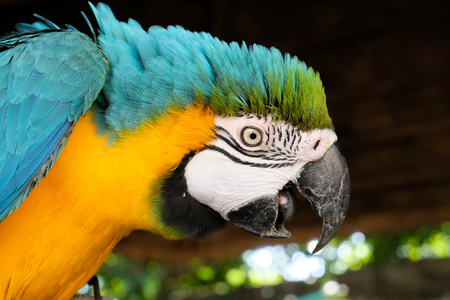 Blue and yellow macaw display aggressive behavior when intruders enter its territory.