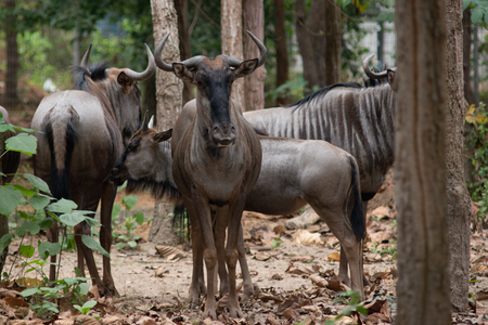 Wildebeest live in open fields and forests of central, southern and eastern Africa, especially Serengeti in Tanzania and Kenya Stockfoto