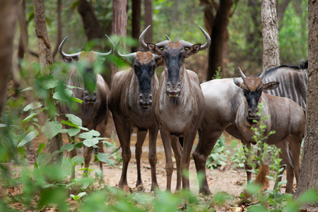 Wildebeest live in open fields and forests of central, southern and eastern Africa, especially Serengeti in Tanzania and Kenya 版權商用圖片
