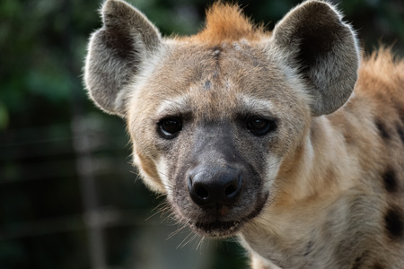 Behavior of spotted hyena