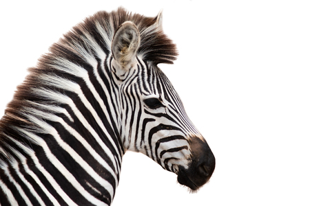 Zebras  stripes perhaps serve to dazzle and confuse predators and biting insects, or to control the animal's body heat. Because each individual's stripes are unique, their stripes may also have a social purpose, helping zebras to recognise one other.