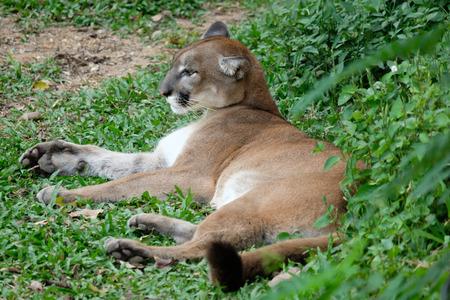 The cougar is an ambush predator that pursues a wide variety of prey.