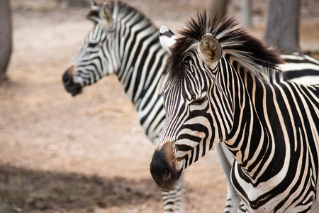 Zebras  stripes perhaps serve to dazzle and confuse predators and biting insects, or to control the animal's body heat. Because each individual's stripes are unique, their stripes may also have a social purpose, helping zebras to recognise one other. Stockfoto - 116144055