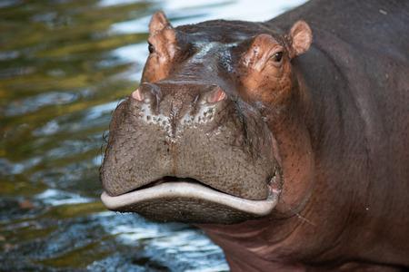 Les hippopotames sont agressifs et sont considérés comme très dangereux.