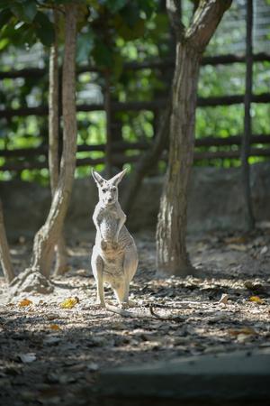 Kangaroo is the national symbol of Australia. Standard-Bild