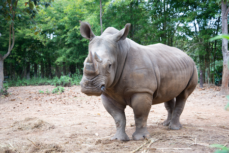 The white rhino lives in Africa, in long and short-grass savannahs. Reklamní fotografie