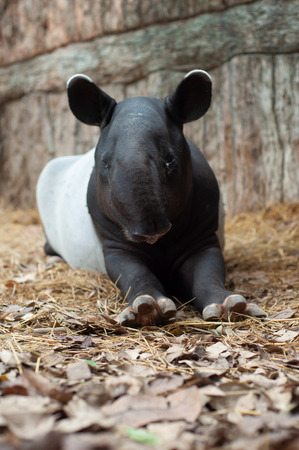 Malayan tapirs have very poor eyesight, making them rely greatly on their excellent sense of smell and hearing to go about in their everyday lives.