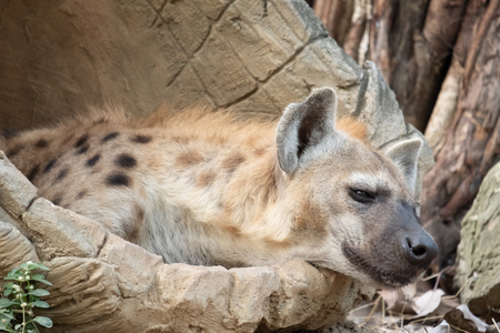 Behavior of spotted hyena Stock Photo - 119414765