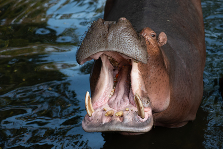 Hippos are aggressive and are considered very dangerous.