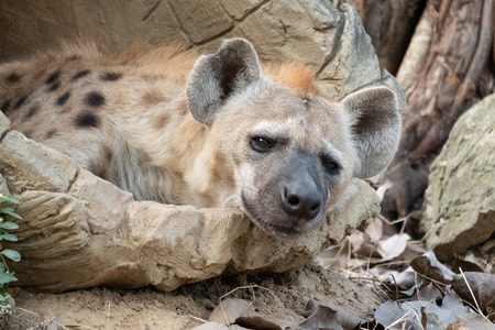 Behavior of spotted hyena Stock Photo - 119415019