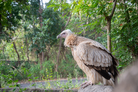 vulture landing on the branches. Stock Photo - 119415394