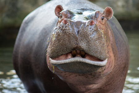Hippos are aggressive and are considered very dangerous. Stok Fotoğraf