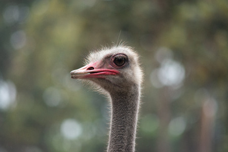 The ostrich needs large eyes for its terrestrial lifestyle sharing the savanna as it does with an alarming army of fearsome predators.