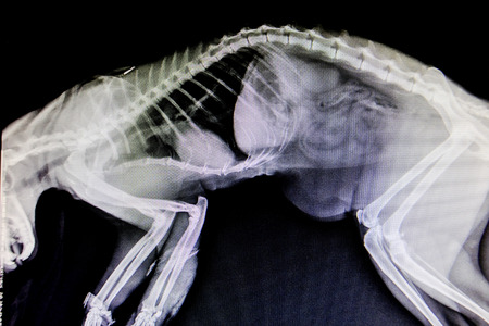 X-ray images of wild animals used by veterinarians to diagnose, treat diseases and illnesses 版權商用圖片