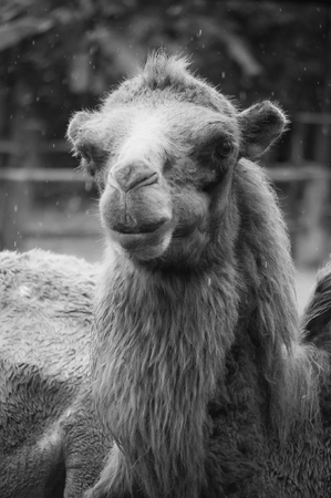 Black and white face of adult bactrian camel