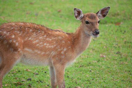baby sika deer in group