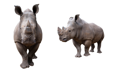 The white rhino lives in africa, in long and short-grass savannahs.