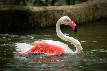 The flamingo lives in mudflats and shallow coastal lagoons with salt water Stock Photo