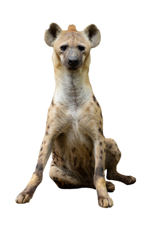 Behavior of spotted hyena Stock Photo - 123716615