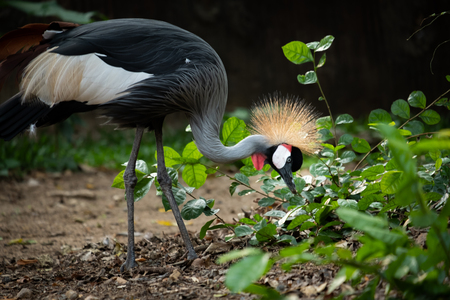 Crowned Crane's behavior during the day