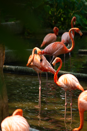 American flamingo behavior while resting during the day Stock Photo