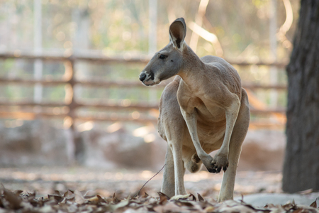 Kangaroos possess powerful hind legs, a long, strong tail, and small front legs.