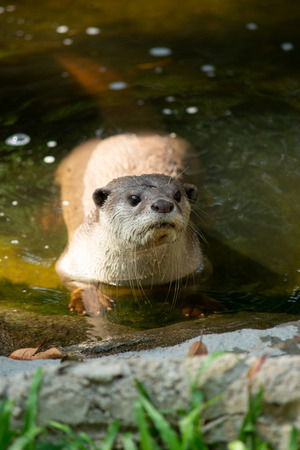 Otters have the thickest fur coat in the world