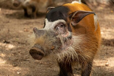 Red river hogs are omnivores and in the wild, eat a variety of foods including grass, berries, insects and carrion.