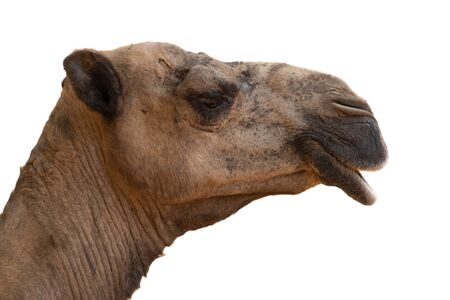 Arabian camels, also known as dromedaries, have only one hump, but they employ it to great effect.