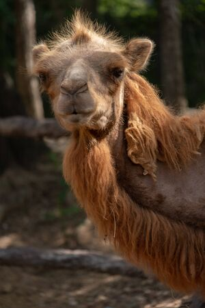 The Bactrian camel is the largest mammal in its native range and is the largest living camel. 免版税图像 - 127901686