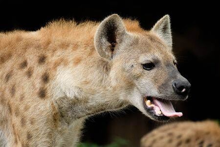 The hyena is Africa's most common large carnivore.