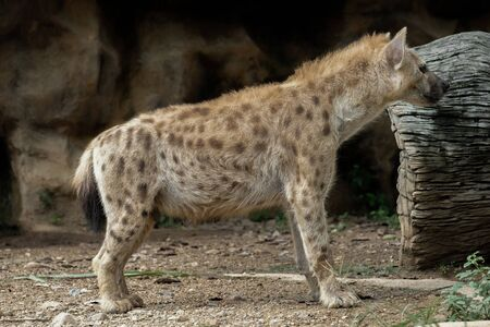 The hyena is Africa's most common large carnivore. Reklamní fotografie
