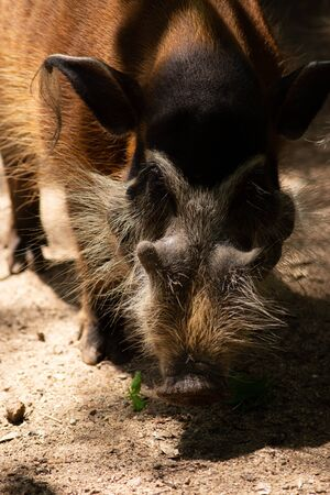 The different actions of the red river hog during the day Banco de Imagens