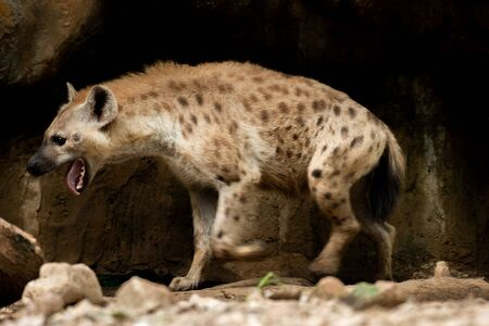 The hyena is Africa's most common large carnivore. Stock Photo - 128098751